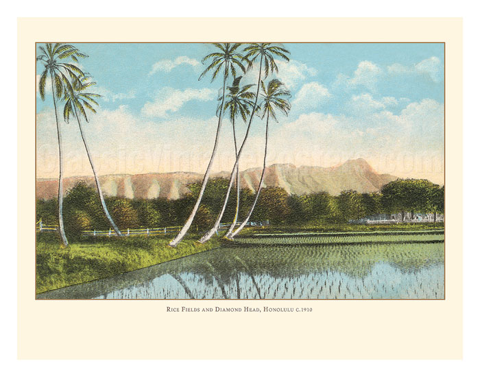 Rice Fields And Diamond Head Crater